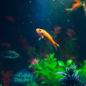 goldfish-animal-fish-pet-72288-medium